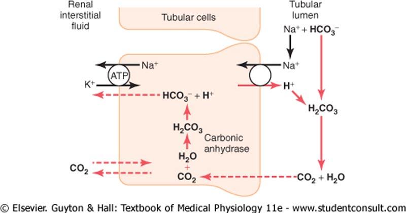 renal acid base metabolism powerpoint